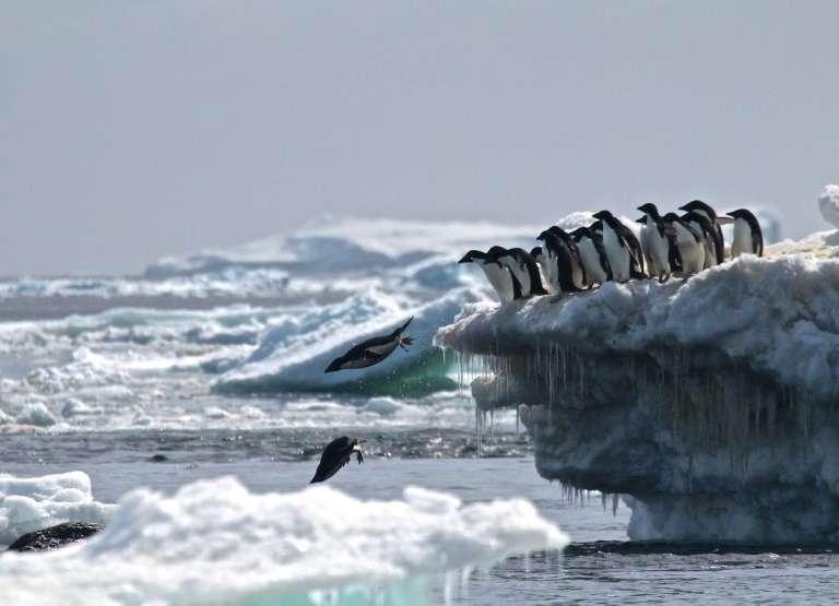 Des manchots d'Adélie le 2 mars 2018 sur un iceberg des îles Danger, en Antarctique. © Rachael Herman, Stony Brook University, AFP