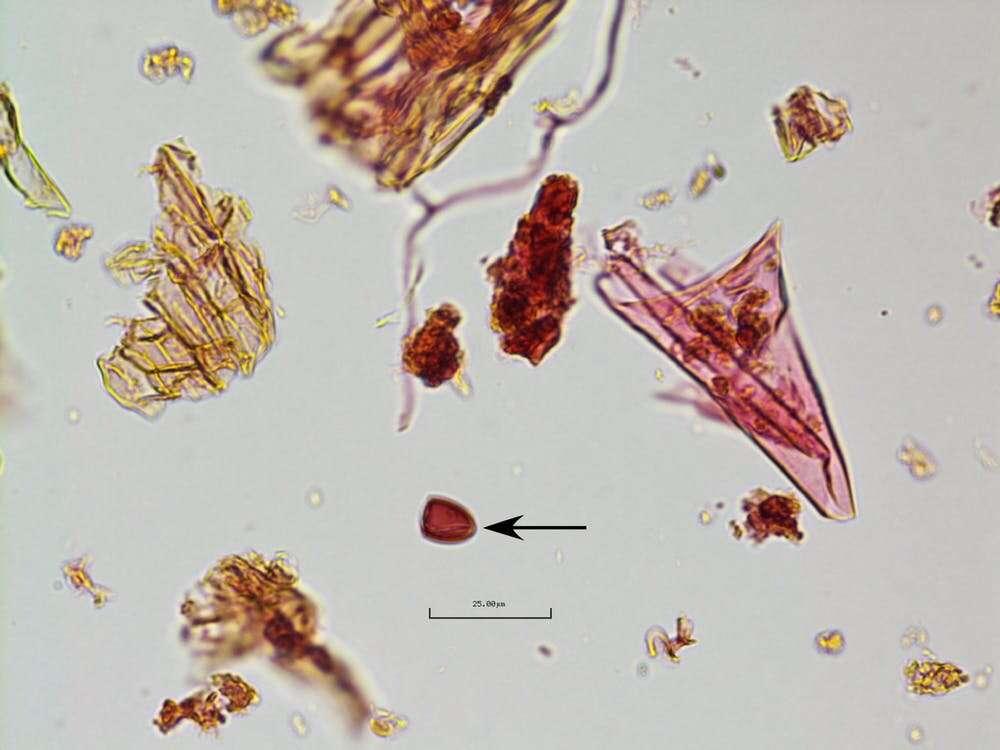 Les spores fongiques associées aux excréments des gros herbivores ont soudainement diminué dans les sédiments de cette époque. © Angelina G. Perrotti