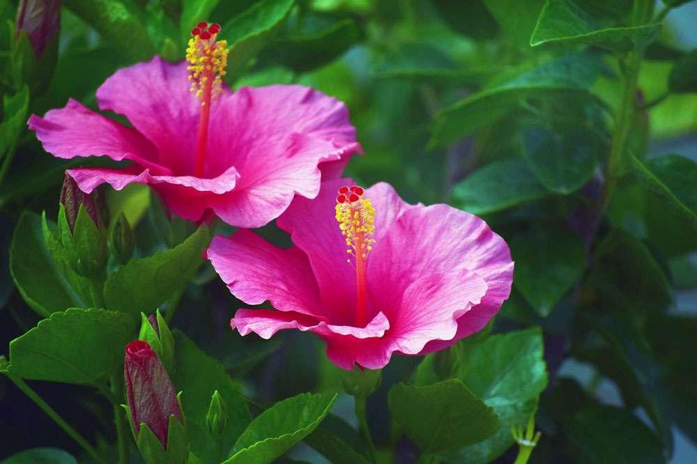 L'hibiscus aux multiples couleurs. © 6920918, Pixabay, DP