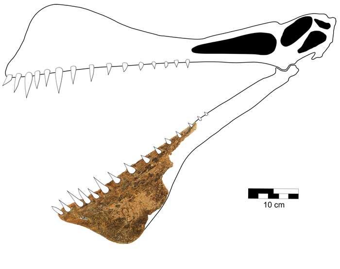 Rekonstruksi morfologi tengkorak T. shawi sebagai fungsi dari fosil mandibula.  © Richard dkk., 2021