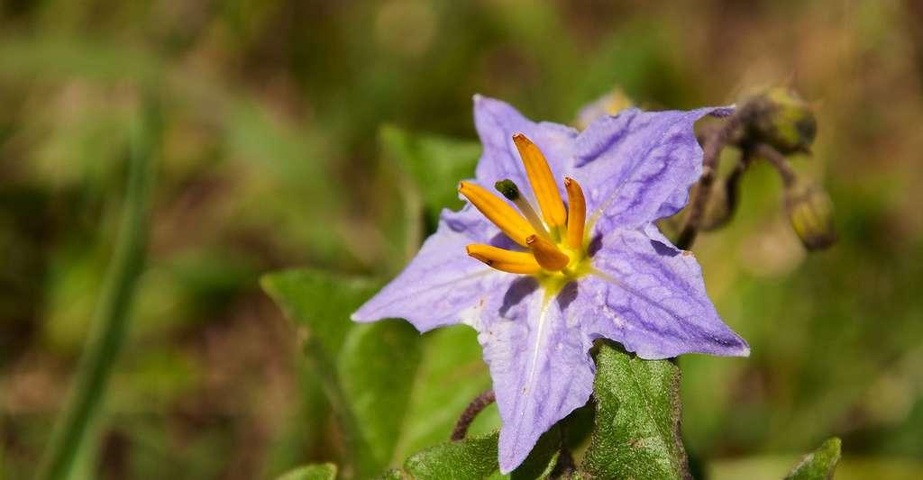 Solanum elaeagnifolium. © Sari ONeal - Shutterstock