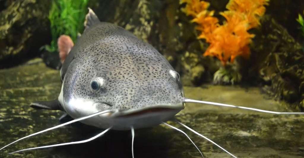 Le poisson-chat, représentant de la famille des siluridés. © Weter 777, Shutterstock