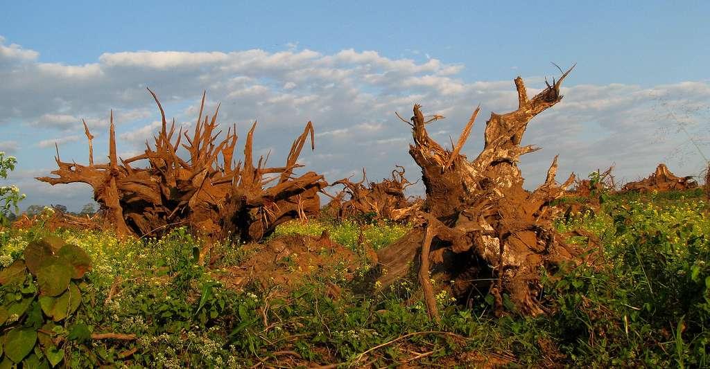 Il faut lutter contre la déforestation. © Nandini Velho, Wikimedia commons, CC by-sa 3.0