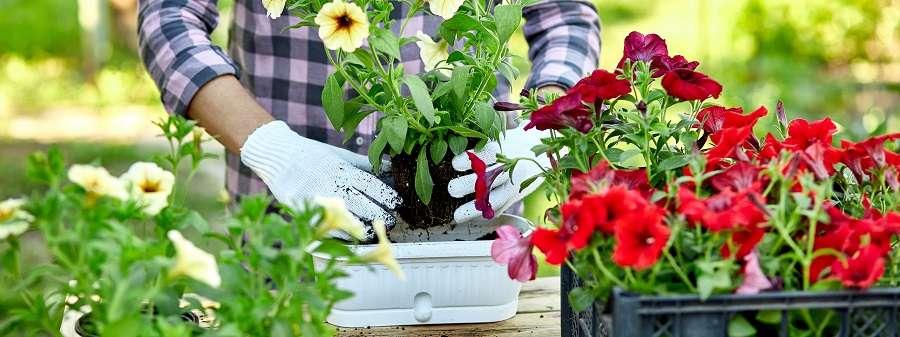 Potée de surfinias et pétunias pour fleurir tout l'été. © Bondarillia, Adobe Stock