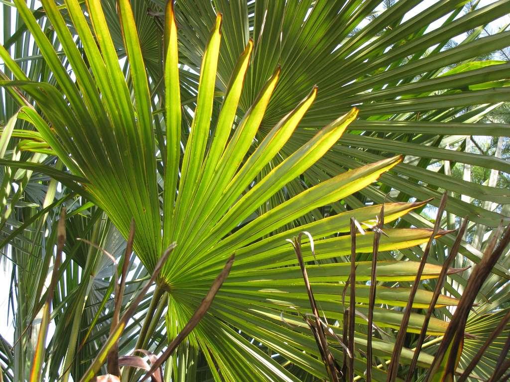 Les feuilles de palmiers peuvent atteindre des tailles gigantesques. © Jonni Moore, Flickr