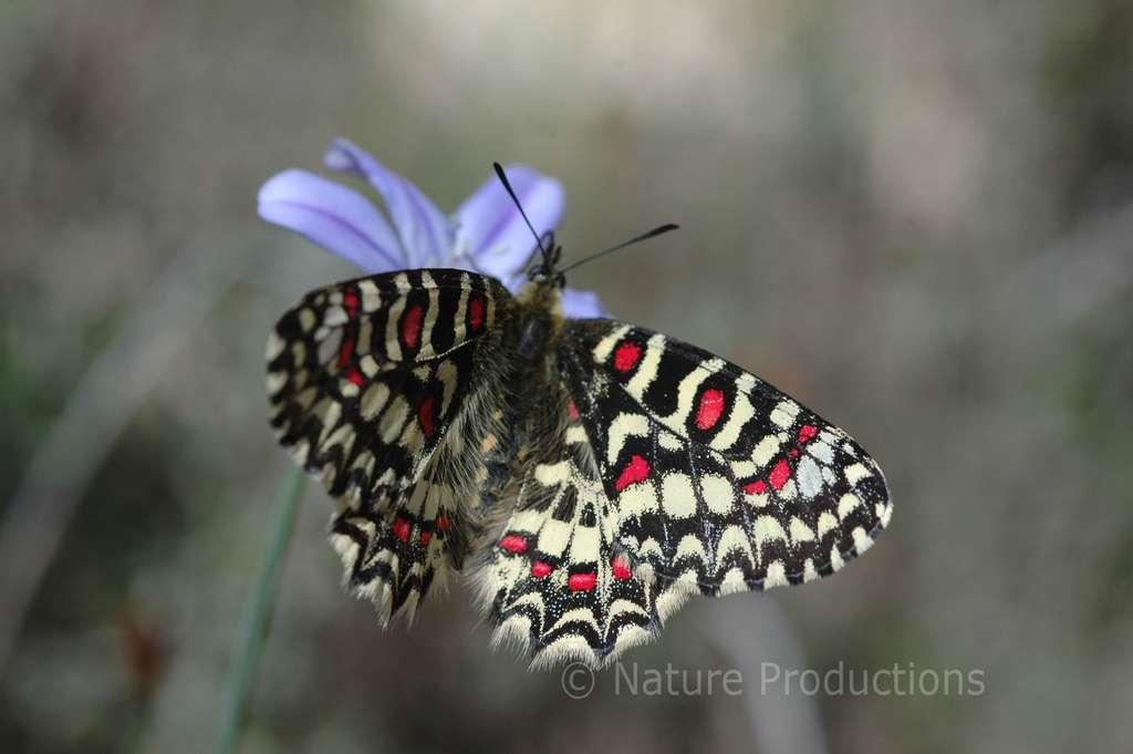 Tirant son nom de la divinité romaine des saisons, la proserpine incarne l'action du Jardin des papillons. © Nicolas Maurel, DR