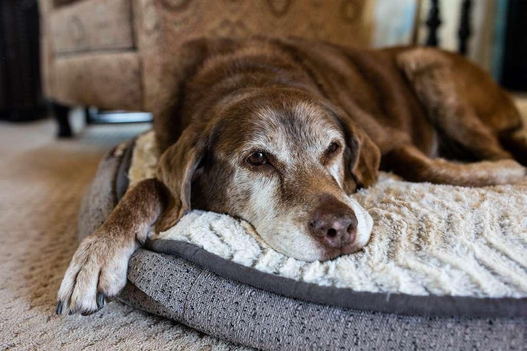 Oubliez la règle de la multiplication par sept pour estimer l'âge humain de votre chien. © Cavan, Adobe Stock