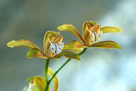 Cymbidium erythraeum 'Paradise'. © Éric Hunt