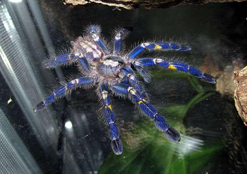 La mygale saphire, en plus d'arborer un joli bleu, est très venimeuse. © Micha L. Rieser, Wikipédia, GNU 1.2