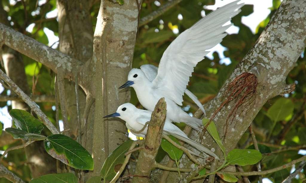 Sternes paradis ou Golan Blan, aux Seychelles