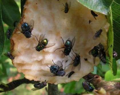 Mouche sur une poire