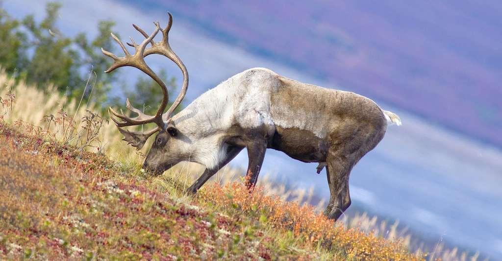 Caribou animal emblématique du Québec. © Jeff McGraw, Fotolia