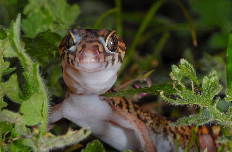 Gecko à bandes du Yucatan (Coleonyx elegans). © Sylvain Lefebvre et Marie-Anne Bertin, DR