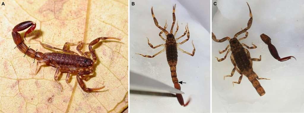 Lorsqu'il perd sa queue, le scorpion perd sa capacité à se défendre et à déféquer, mais pas sa capacité reproductive. © Camilo Mattoni et al, Plos One, 2015.