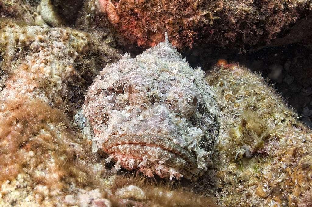 Le poisson-pierre, un redoutable animal venimeux. © Andrea Izzotti, Shutterstock