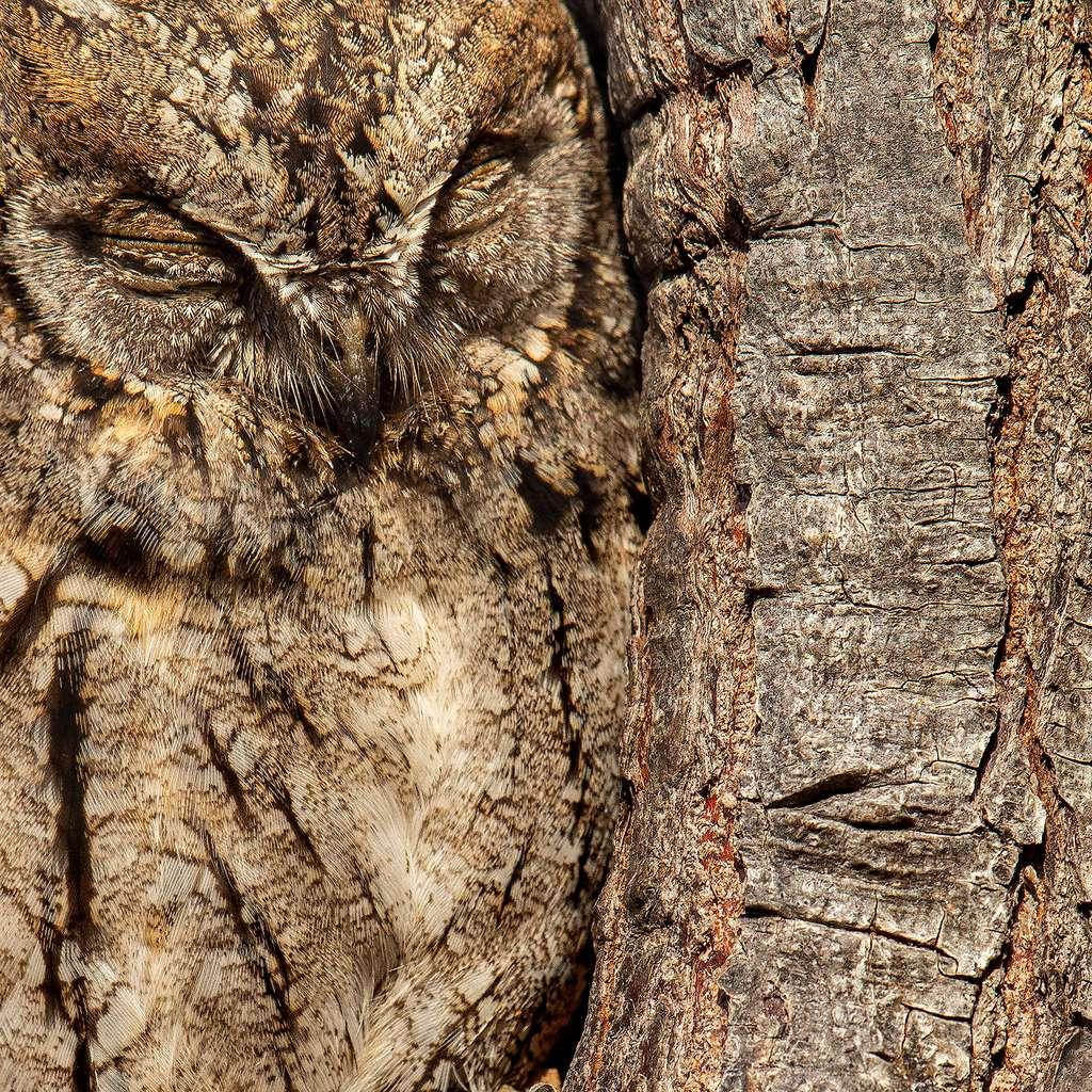 Hibou petit-duc (Otus scops). © Bird Photographer of the Year, Moshe Cohen (Israël)