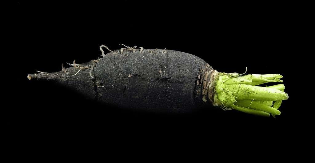 Le radis noir a un goût piquant prononcé. © Pha10019, CC by-nc 2.0