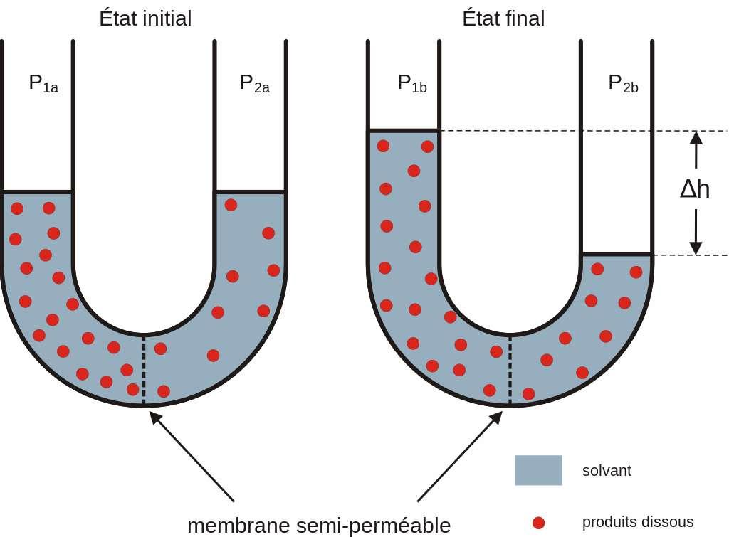 L'osmose est un phénomène de diffusion de la matière. Elle concerne les échanges entre deux solutions liquides ayant des concentrés en solutés différents, et séparées par une paroi semi-perméable. © Hans Hillewaert, Wikimedia Commons, CC by-sa 3.0