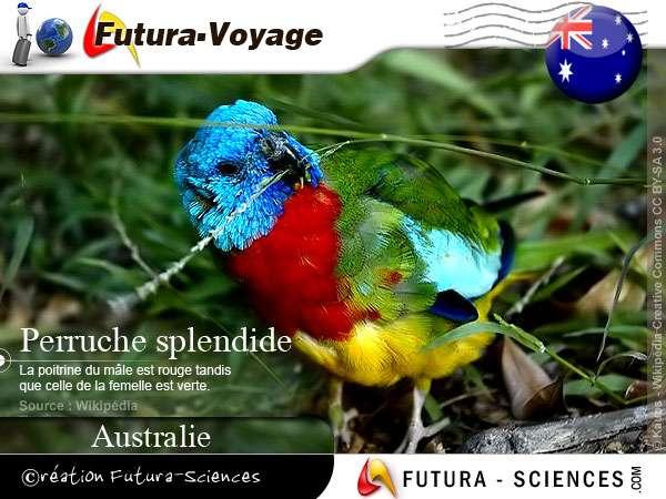 Perruche splendide Neophema splendida - Australie