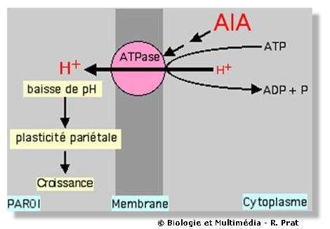 Figure 25 - Schéma très simplifié de l'action de l'auxine sur la croissance cellulaire. L'auxine (AIA) par l'intermédiaire de récepteurs hormonaux, stimule une ATPase membranaire qui provoque la sortie de protons (H+) ves l'extérieur (dans la paroi cellulaire). Cette action provoque une baisse de pH qui augmente la plasticité de la paroi cellulaire. Cette plasticité est une potentialité qui ne se réalise que si une force intervient.