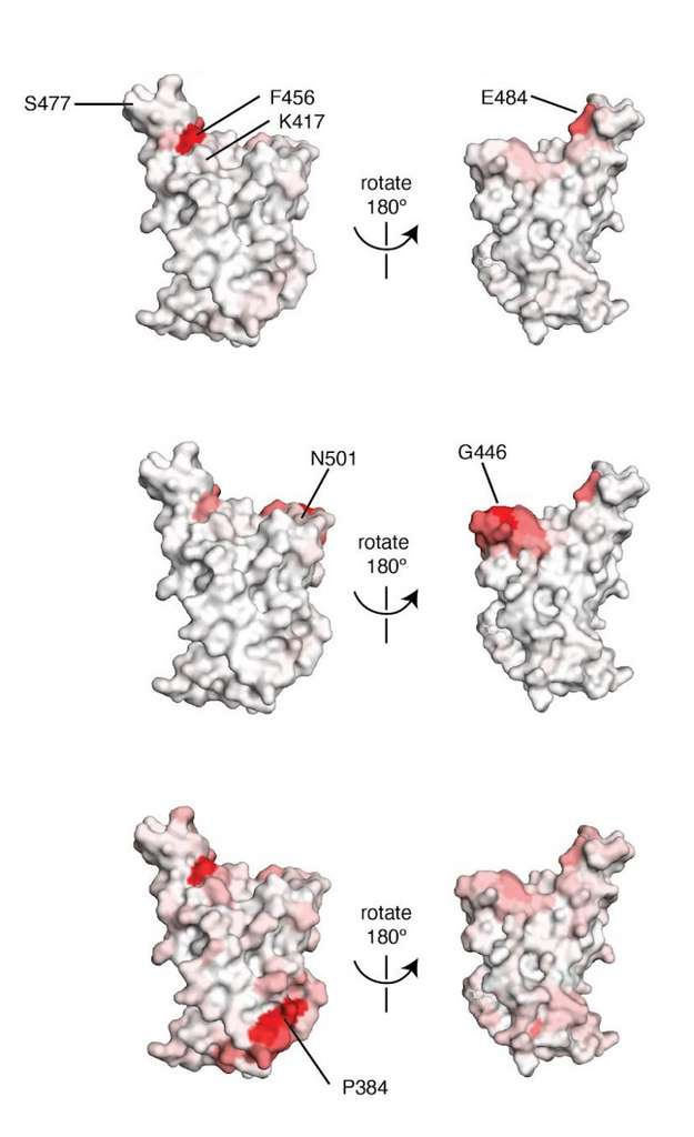 Les zones en rouge montrent la position des mutations les plus intéressantes sur le domaine RBD de la protéine S du SARS-CoV-2. À gauche, ce sont les épitopes inaccessibles lorsque le RBD est dans sa forme « down » et à gauche, les épitopes accessibles. © adapté de Allison J. Greaney et al.