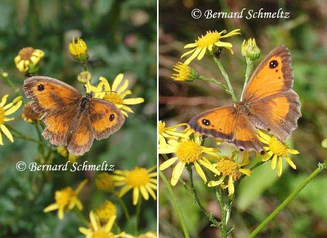 L'Amaryllis, Pyronia tithonus (L., 1776) (Satyridé) : mâle à gauche, femelle à droite. © Bernard Schmeltz