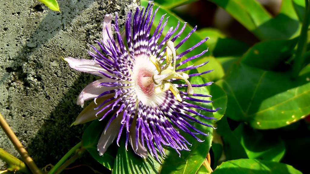 La passiflore officinale ou Passiflora incarnata, la fleur de la Passion
