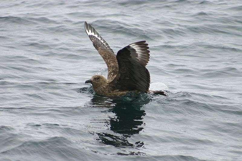 Skua dans l'eau. © Psychofox, domaine public