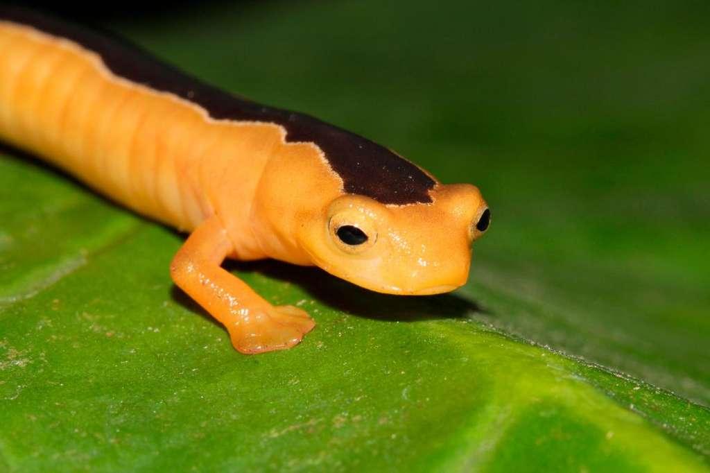 Les chercheurs ne savent quasiment rien de Bolitoglossa jacksoni qui n'a été observée qu'une poignée de fois. © Carlos Vasquez Almazan