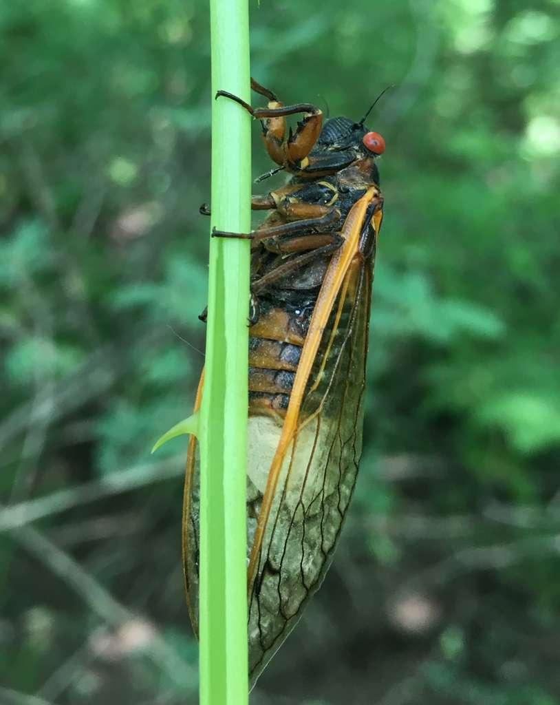 Les pattes et les organes génitaux des cigales sont détruits par le champignon qui pousse quand même la cigale à s'accoupler afin qu'il soit disséminé dans la population. © West Virginia University