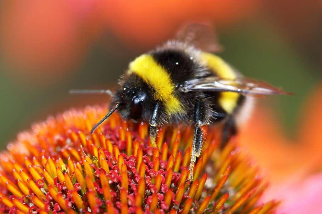 Le bourdon est un insecte pollinisateur, qui s'abreuve de nectar et nourrit ses larves avec du pollen. © Jolanta Mayerberg, Adobe Stock