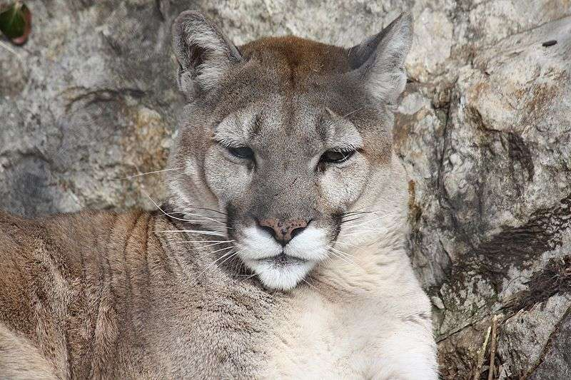 Puma. © Ltshears, Creative Commons Attribution Share-Alike 3.0 Unported license