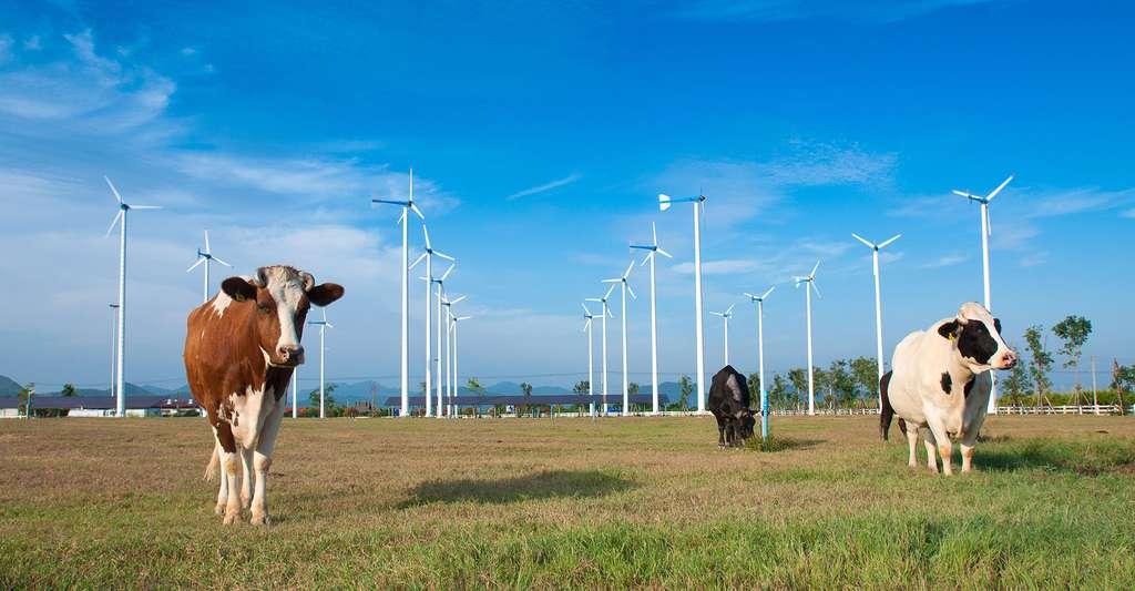 Vaches paissant tranquillement près d'éoliennes. © Photorasee, Shutterstock