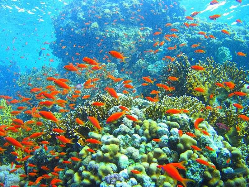 Les récifs coralliens sont parmi les milieux les plus riches en biodiversité. L'immense majorité des récifs est répartie dans la zone de lumière des 20 premiers mètres des eaux tropicales. © Mikhail Rogov, Wikipédia, GNU 1.2