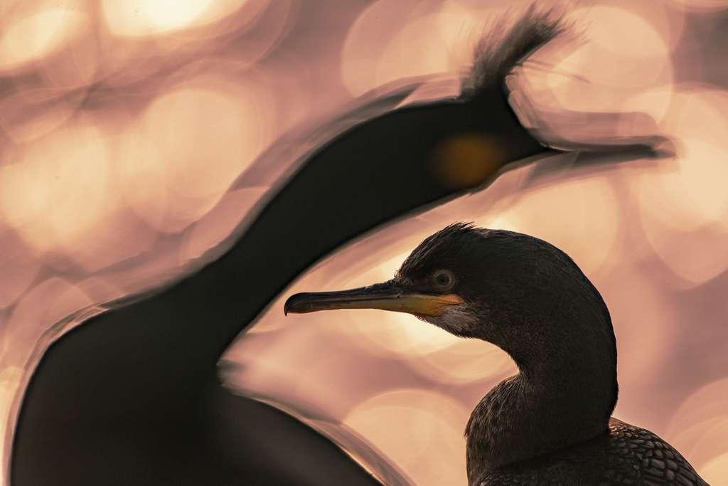 Cormoran huppé (Gulosus aristotelis). © Bird Photographer of the Year, Majed Alza'abi (Koweït)