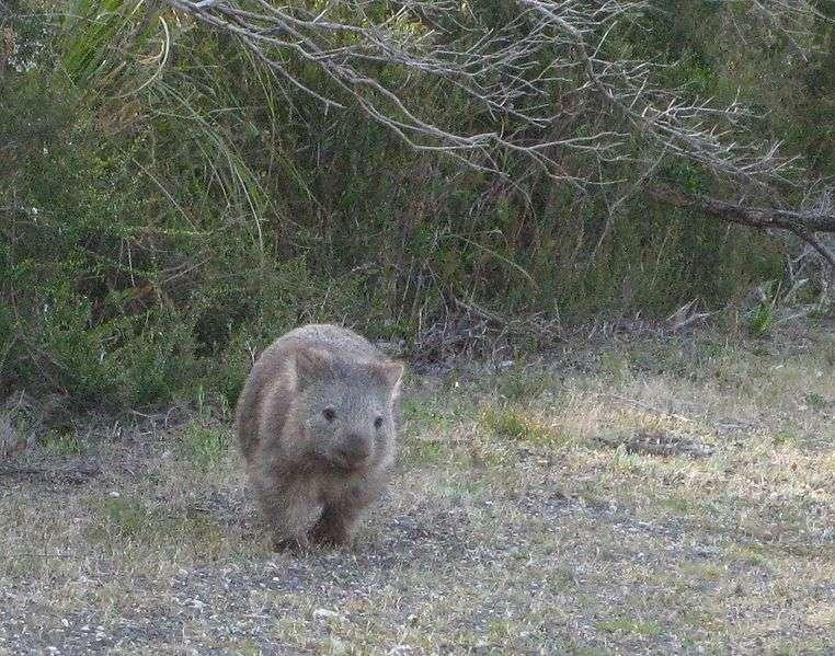 Wombat dans le parc national du promontoire de Wilson. © Phil Whitehouse, Wikipédia, cc by 2.0
