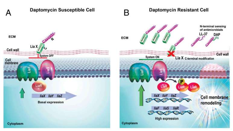 À droite, le mécanisme inactif. LiaX est intégré dans la paroi de la bactérie et contrôle les autres éléments du système. En présence d'antimicrobiens, la partie extra-cellulaire de LiaX les reconnaît et les fixe, ce qui entraîne un changement dans la partie contrôlant le système. Celui-ci, désormais actif, informe la bactérie de la présence de molécules nocives et elle modifie sa membrane cellulaire pour empêcher leur action. © Ayesha Khan et al.