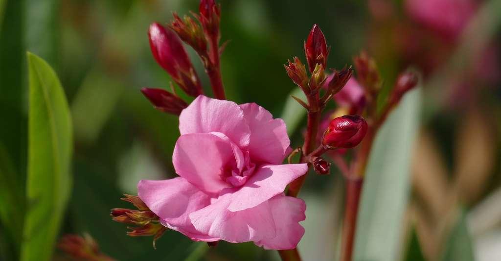 L'ingestion de 3 grammes de laurier-rose peut suffire à tuer un chien. © dolvita108, Pixabay, CC0 Public Domain