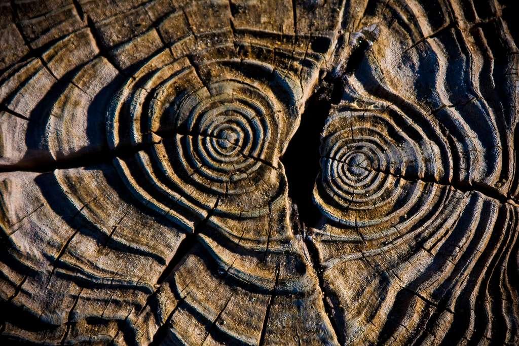 Coupe transversale d'un tronc d'arbre. © Garry Knight, Wikimedia commons, CC 2.0