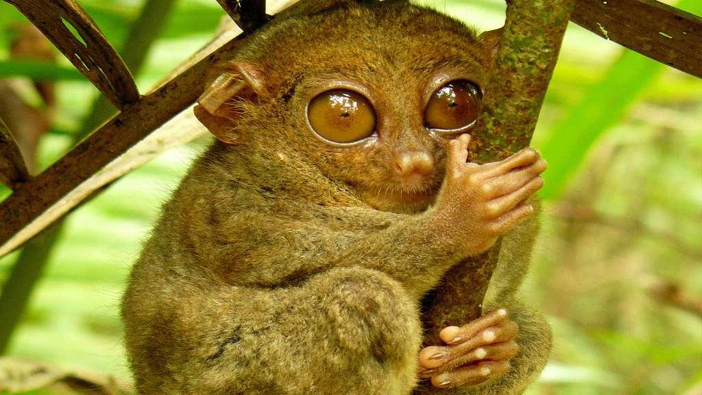 Le tarsier des Philippines, petit primate au cou élastique