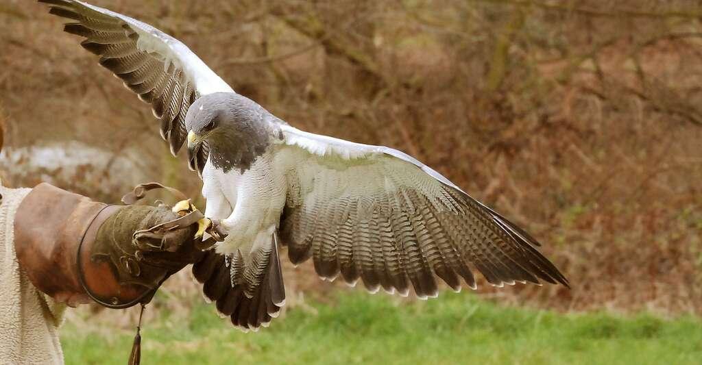 L'aigle et le faucon occupent une place particulière dans l'histoire de l'Homme. Ici, préparation pour l'envol d'un faucon. © Stevebidmead, DP
