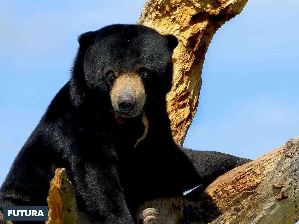 Ours noir de l'hymalaya