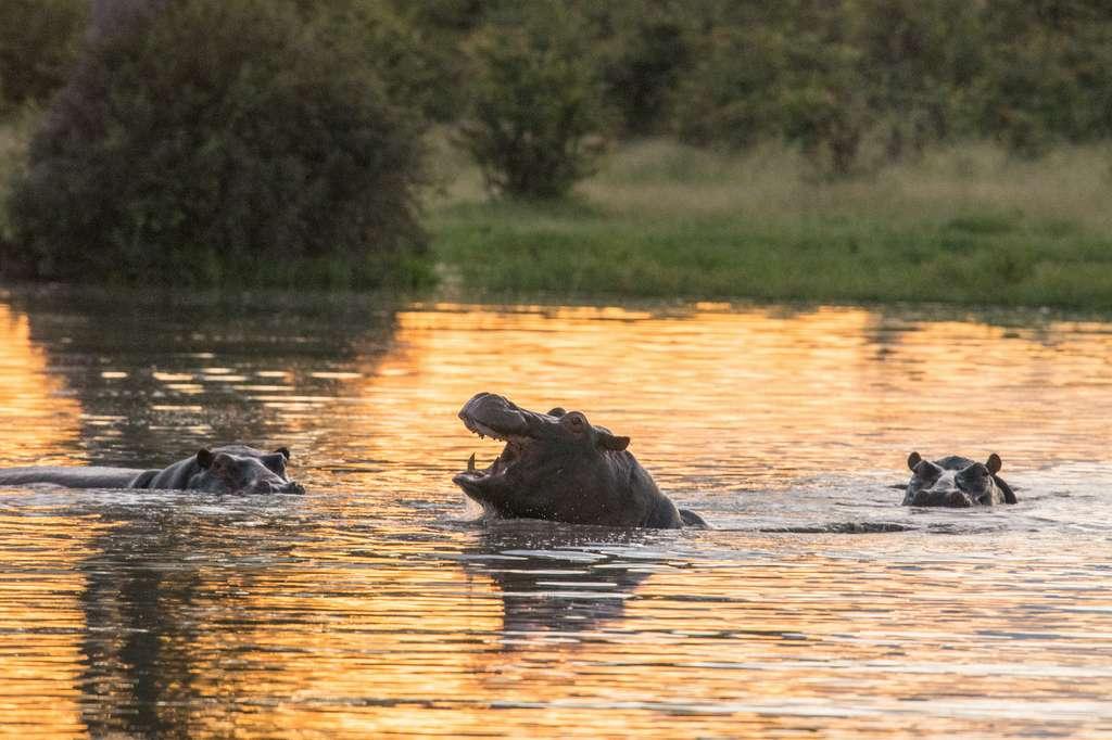 Avec leurs déjections, les hippopotames asphyxient les rivières. © vaclav, Adobe Stock