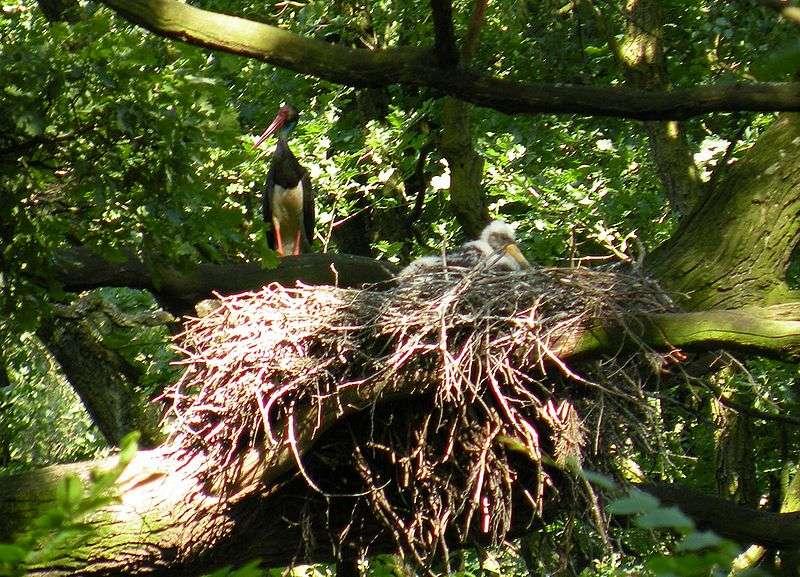 Cigogneau au nid. © K bogusz1, GNU FDL Version 1.2