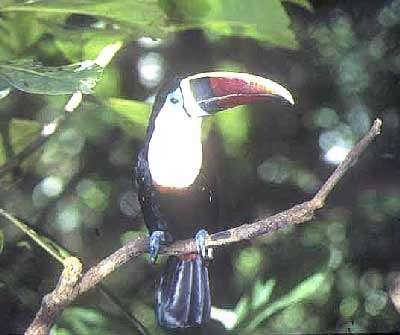Le toucan à bec rouge est appelé « gros bec » en créole. © Paul Siffert, Gepog