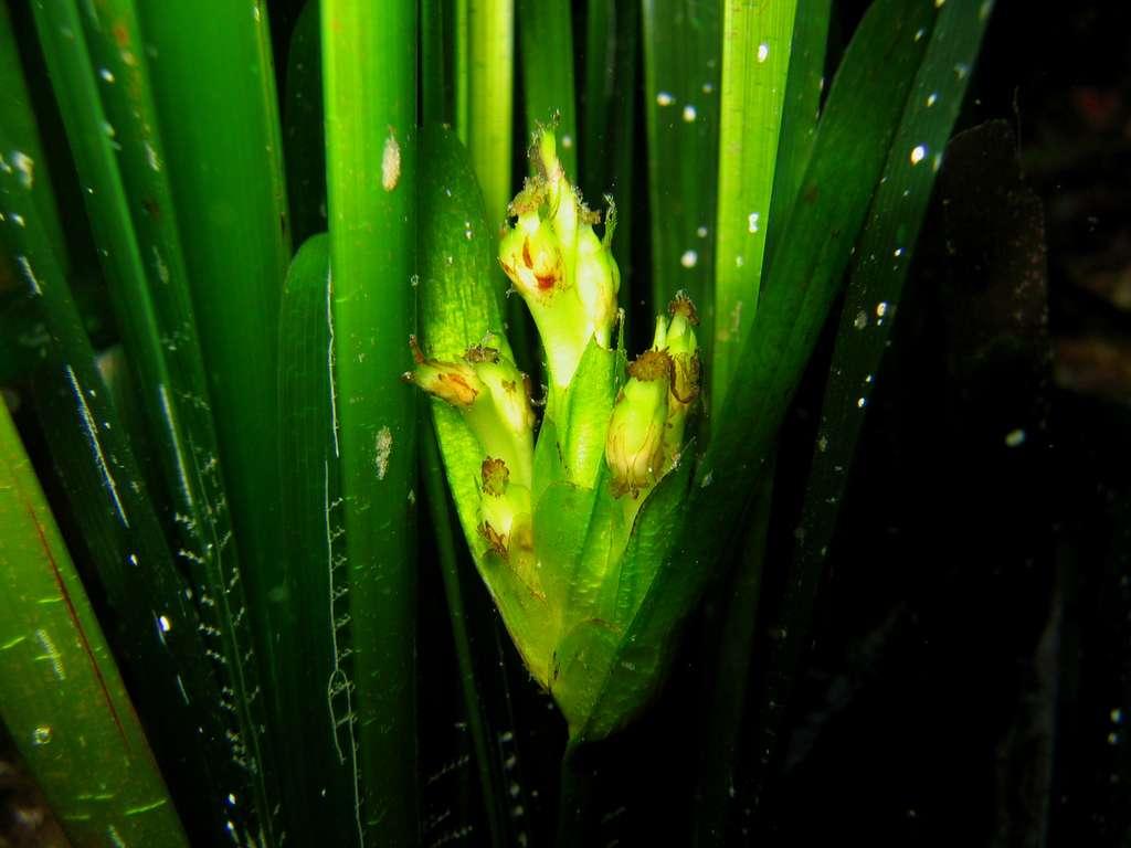Figure 3.2. Une inflorescence de Posidonia oceanica, cachée au milieu des feuilles. En fait, il s'agit déjà de jeunes fruits. À Port-Cros (Provence orientale), 10 mètres de profondeur. © Sandrine Ruitton - Tous droits réservés - Reproduction interdite