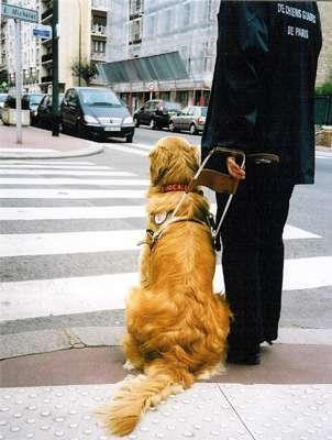 Le chien guide d'aveugle sait s'arrêter au feu rouge pour piétons. © FFAC, tous droits réservés