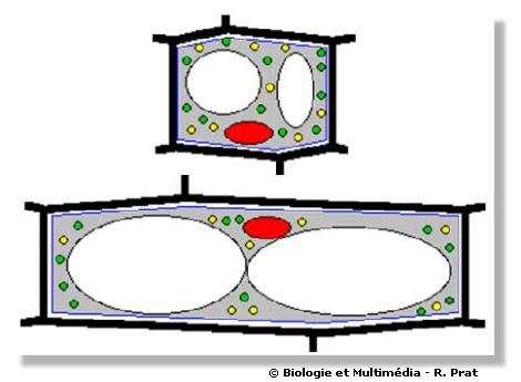 Figures 23 et 24 - Représentation schématique de la croissance d'une cellule végétale. Dans un grand nombre de cas, cette croissance se réalise dans une direction privilégiée (élongation). Cette augmentation de taille peut être de l'ordre de 10 fois en 24 heures chez une cellule jeune ce qui implique des synthèses importantes de paroi, de membranes et de solutés vacuolaires.