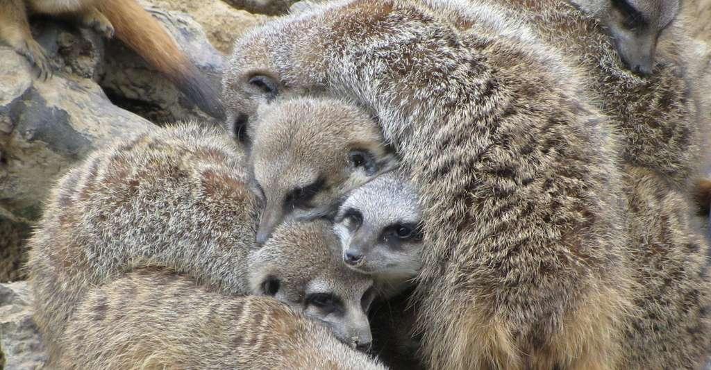 En dormant les uns sur les autres, les suricates se tiennent aussi au chaud. © kerraner, Fotolia