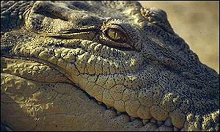 Tête de crocodile. © DR